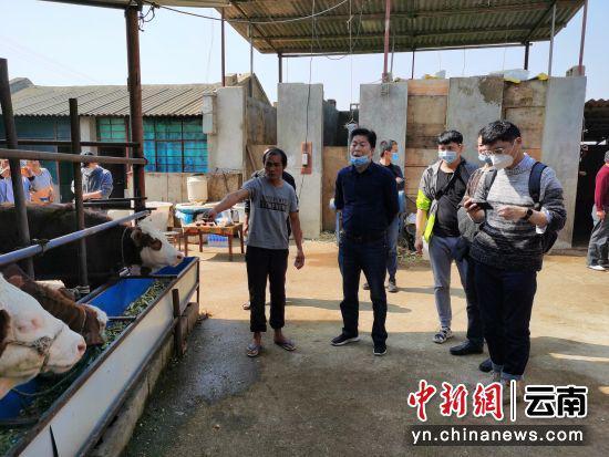 西南大学专家调研昌宁肉牛养殖