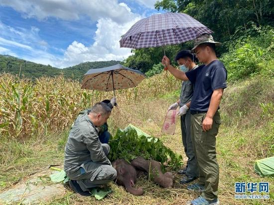8月29日,救助人员给获救幼象遮挡太阳。