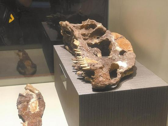 双脊龙头骨化石