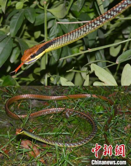 图为沃氏过树蛇生活时照片。中国科学院东南亚生物多样性研究中心供图