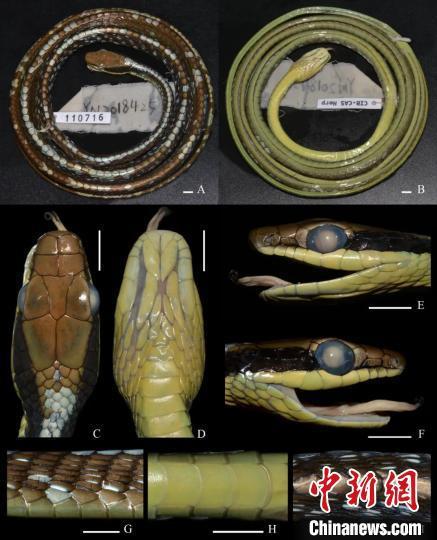 图为沃氏过树蛇正模标本照。中国科学院东南亚生物多样性研究中心供图