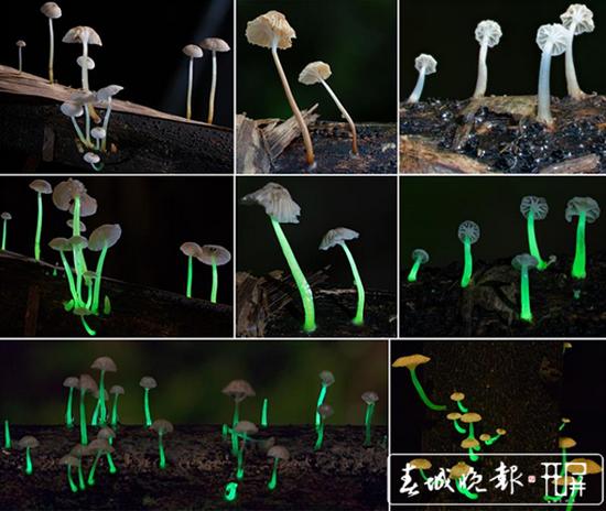发光蘑菇(图源:西双版纳热带植物园)