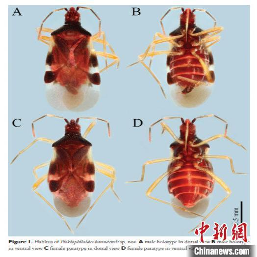 图为版纳丝蝽。 骆久阳 摄