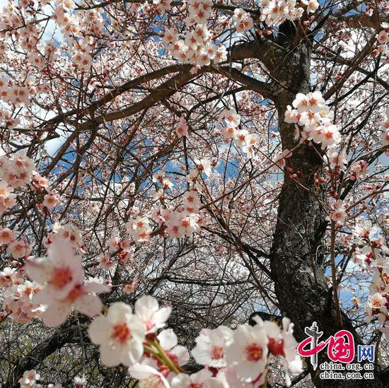 桃花嫣然出篱笑,似开未开最有情。——汪藻《春日·一春略无十日晴》摄影 余江