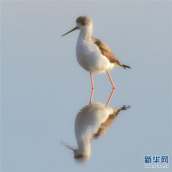 黑翅长脚鹬 新华网发(蔡庆彪 摄)