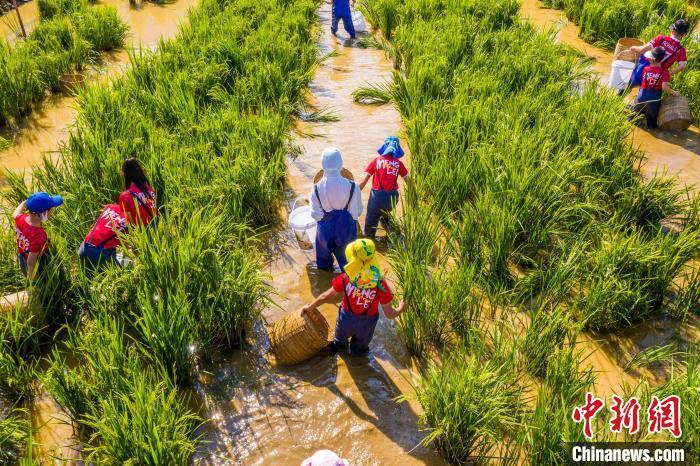 图为游客在田间捉稻花鱼。 周明佳 摄