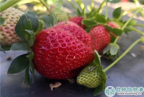一颗颗鲜红的草莓引得市民争相采摘。供图。