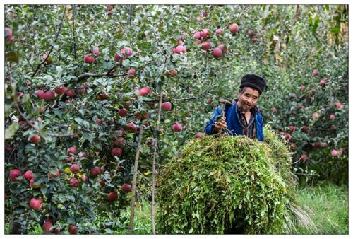 苹果产业 助农增收
