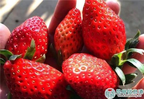 富民县冬草莓陆续进入采摘期。供图。