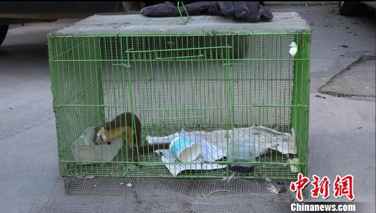 图为获救的国家三有保护动物黄腹鼬。