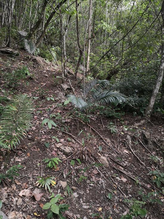 考察队员发现的滇南苏铁居群