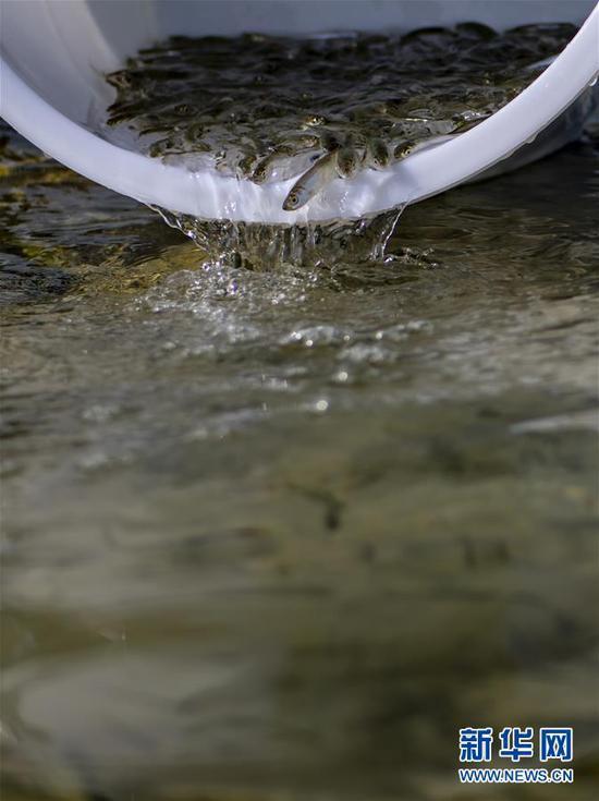8月26日,抗浪鱼鱼苗被投放进抚仙湖。