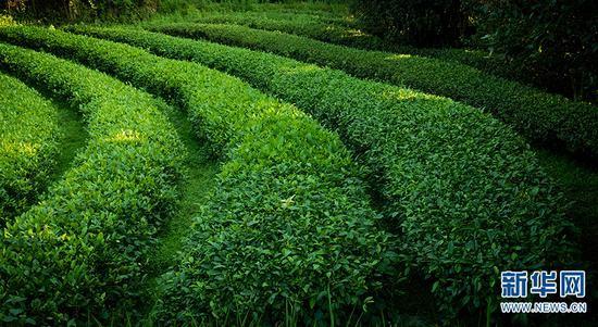 航拍蒙自五里冲茶园(摄于5月29日)。新华网发 供图
