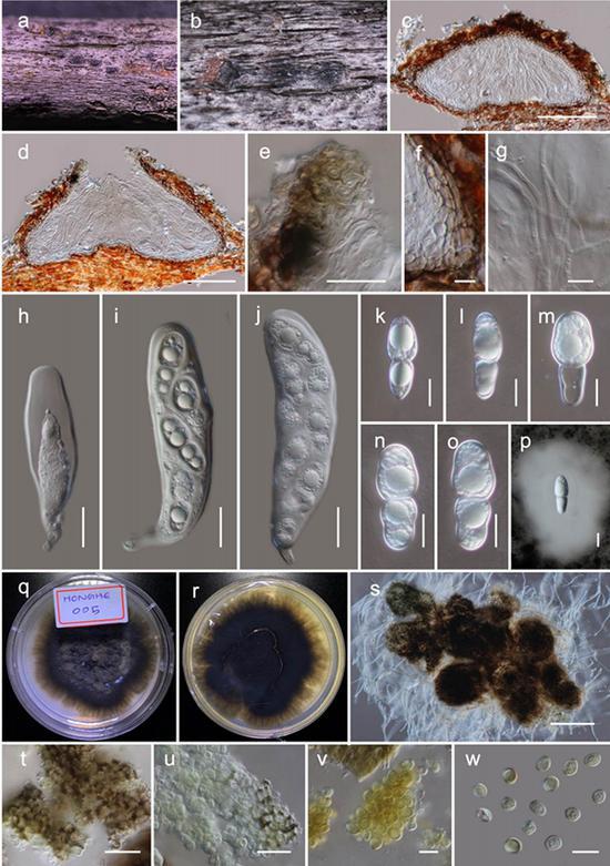 图Haniomyces dodonaeae的有性形态(HKAS110128,holotype)和无性形态(KUMCC 20-0220,ex-type)