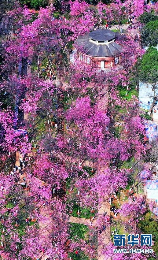 航拍视角下的圆通山粉色花海。新华网发(崔永江 摄)