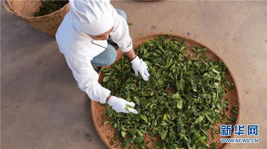 晾晒茶叶。新华网 丁凝 摄