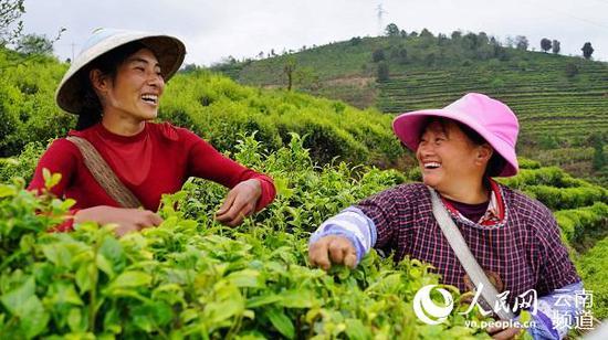 采摘茶叶。(供图)
