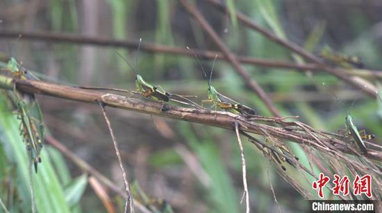 图为迁入云南省普洱市江城县的黄脊竹蝗。 刀志楠 摄