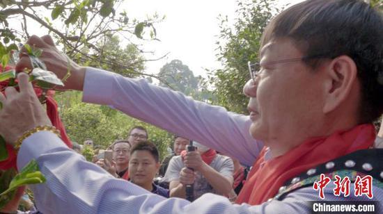 3月28日,云南墨江米地贡茶园茶王树开采。 袁鸿凯 摄