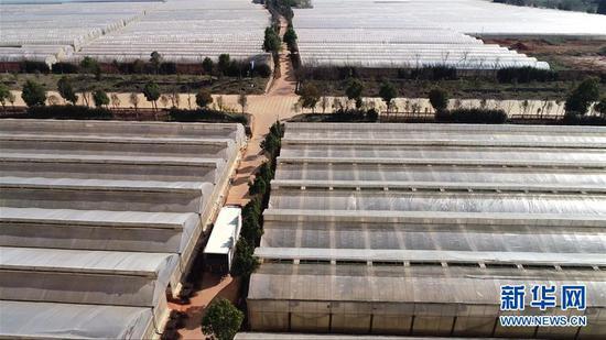 2月14日,装载鲜花的运输车驶出中国云南石林彝族自治县锦苑花卉产业园。 新华社记者 胡超 摄