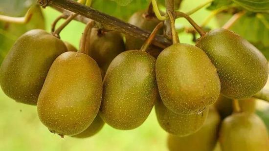 椭圆形、黄褐色的猕猴桃挂满枝头。