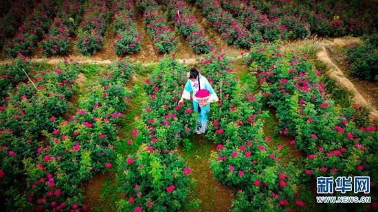 采摘玫瑰花。(摄于4月30日)(新华网 潘越 摄)