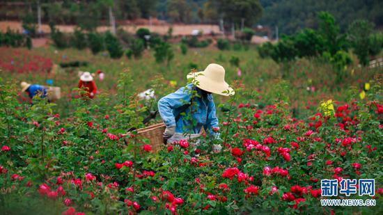 花农在采摘玫瑰花。(摄于4月28日)(新华网 潘越 摄)