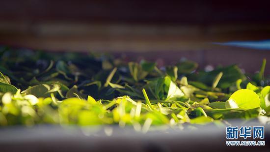 新鲜的茶叶(摄于5月29日)。新华网发 供图