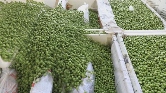 保山市施甸县鲜豌豆走俏市场 农户收入不菲