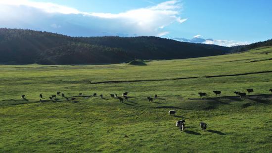 香格里拉普达措高山草甸(2020年8月27日摄)。新华网 赵普凡 摄