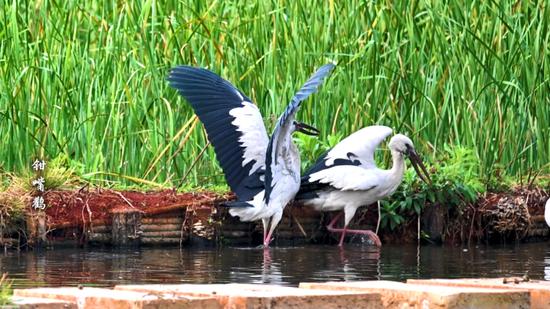 世界环境日:澄江大地绿水青山 飞鸟蹁跹百鸟长鸣