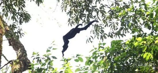 黑冠长臂猿(王承吉/摄)