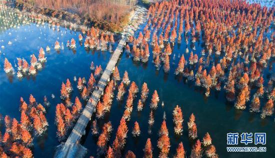 游人在甸尾村水杉湿地游玩(1月5日无人机拍摄)。 新华社记者 秦晴 摄