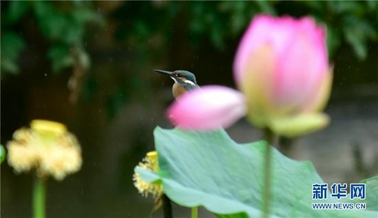 云南省弥勒市湖泉生态园内,翠鸟栖于荷花间(8月24日摄)。新华网发(普佳勇 摄)