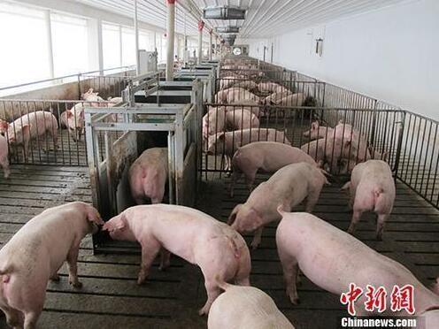 资料图:生猪养殖场。中新社记者 林浩 摄
