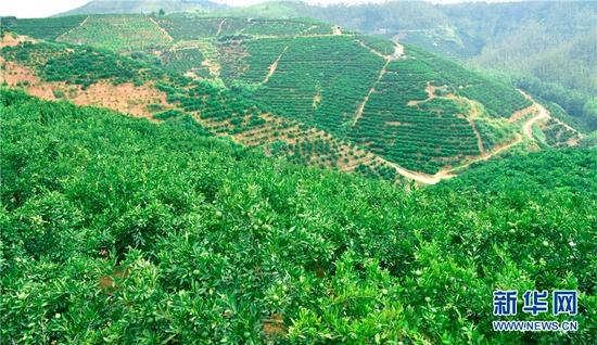 云南省弥勒市朋普镇可乐村,坡地上种植的脐橙、冰糖橙硕果累累。新华网发(普佳勇 摄)