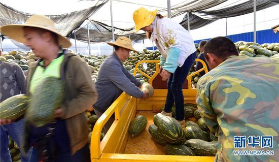 11月22日,在云南省弥勒市东风农场管理局一金瓜收购经销点,工人在忙着堆放刚收购的金瓜。新华网发(普佳勇 摄)