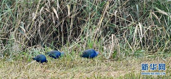 这是10月10日在云南昆明拍摄到的紫水鸡。新华网发(韦铭 摄)