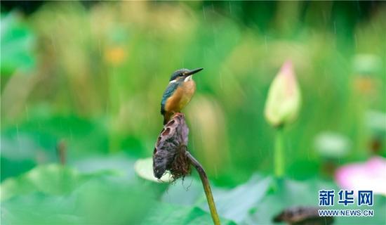 云南省弥勒市湖泉生态园内的翠鸟(8月24日摄)。新华网发(普佳勇 摄)