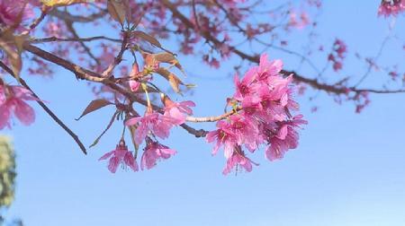 冬日 抚仙湖畔樱花美如画