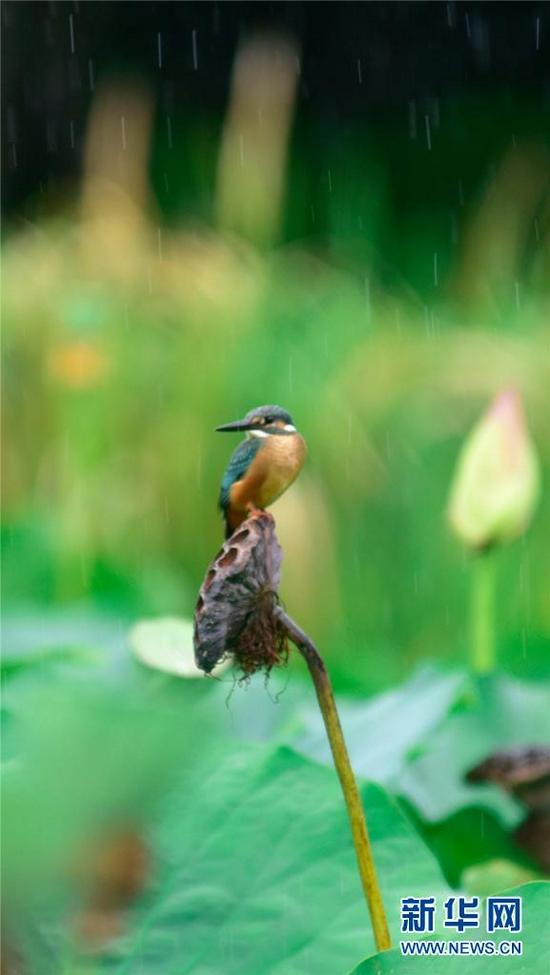 云南省弥勒市湖泉生态园内,翠鸟与荷塘自成一景(8月24日摄)。新华网发(普佳勇 摄)