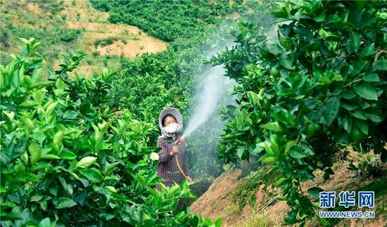云南省弥勒市朋普镇可乐村,村民为坡地上种植的脐橙、冰糖橙浇水。新华网发(普佳勇 摄)