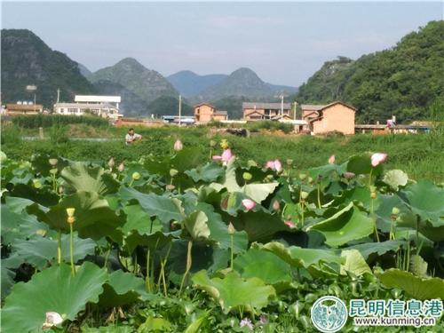 普者黑景区的荷花开得正盛。记者江枫/摄