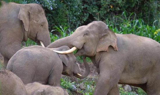 △野生亚洲象