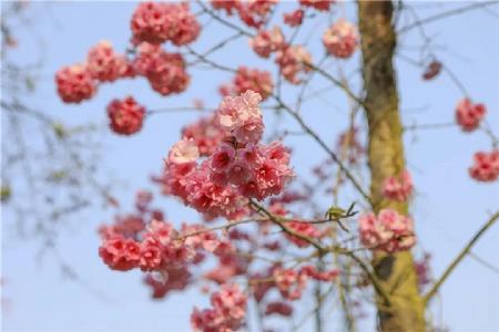 春日好風光——澄江帽天山櫻花盛放邀你賞
