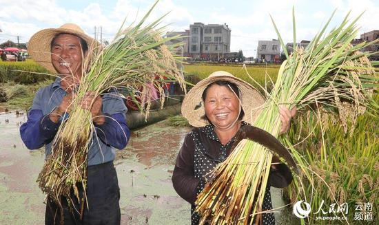 沙堤村生态水稻丰收,农民收割忙。摄影:杨峥