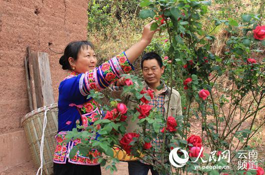杨伟军夫妻二人正在采摘玫瑰。(杨桂清摄)