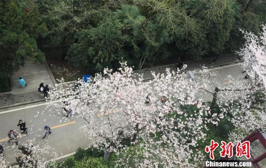 武汉大学樱花盛开,海内外游客前往赏花 梁婷 摄