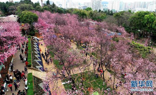 游人在昆明圆通山公园观赏盛开的樱花(3月16日无人机拍摄)。