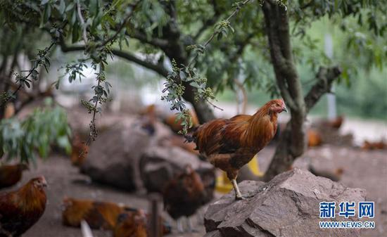 云南省鲁甸县在花椒林下发展特色养殖业(8月9日摄)。 新华社记者 江文耀 摄
